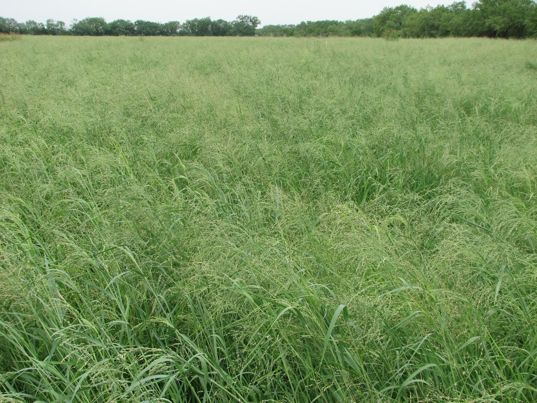Kleingrass Verde Pogue Livestock Grazing Seeds